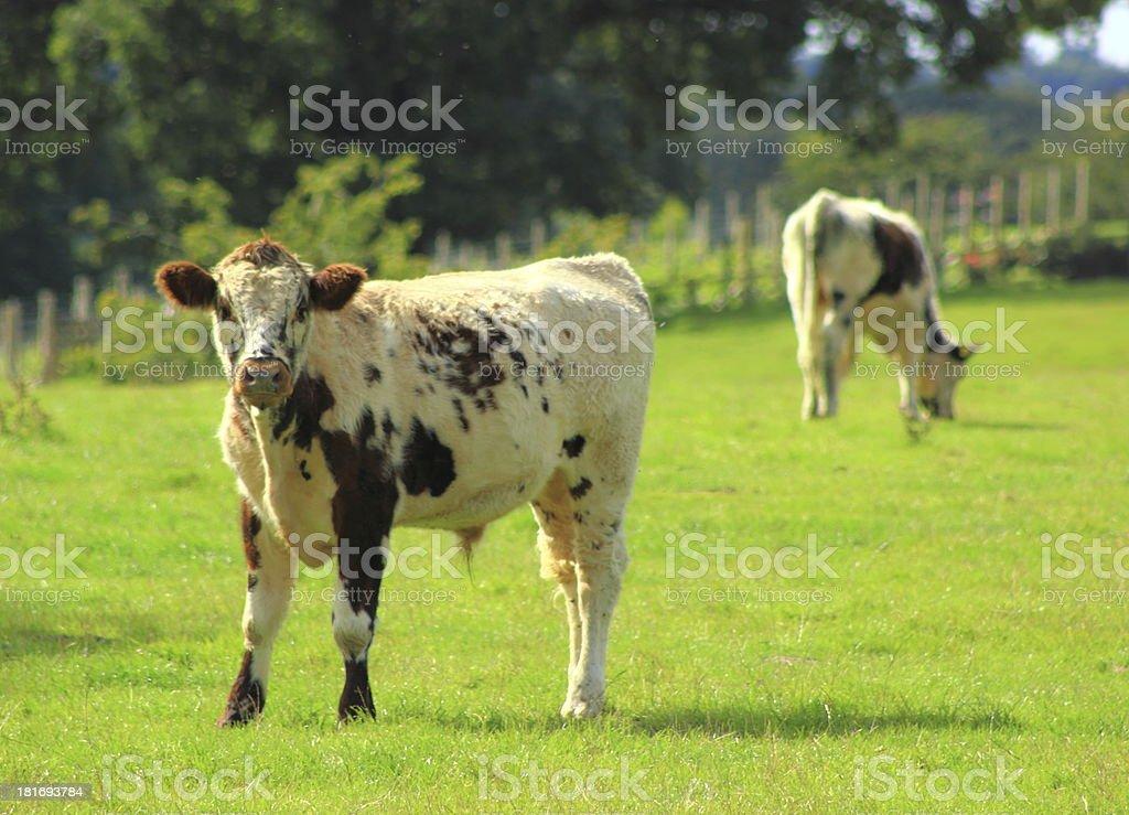 longhorn grazing stock photo