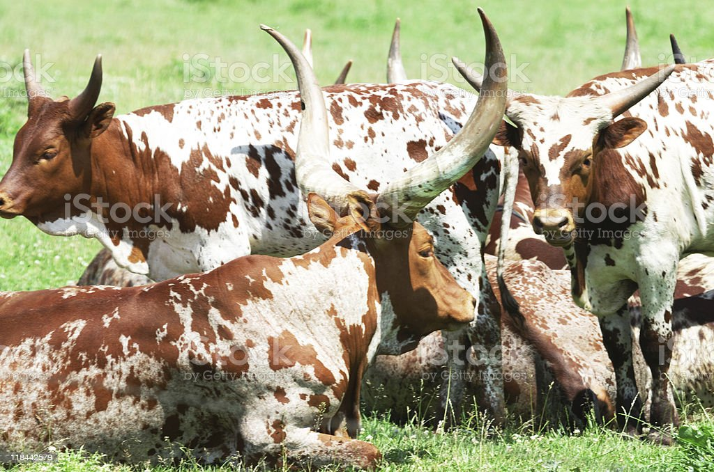 Longhorn Herd royalty-free stock photo