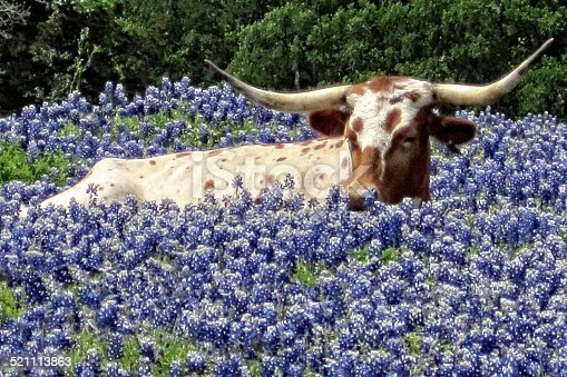 A Texas Longhorn lying down in a gorgeous field of Bluebonnets..... a real sign of spring in Texas.