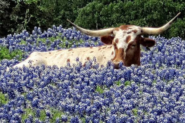 longhorn in the bluebonnets - bluebonnet stock photos and pictures