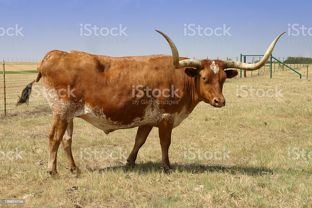 Longhorn looking at you royalty-free stock photo