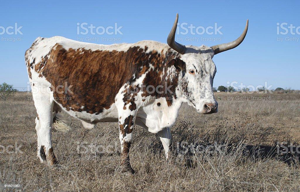 longhorn mix royalty-free stock photo