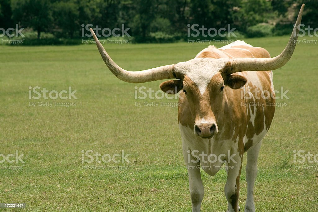 Longhorn royalty-free stock photo