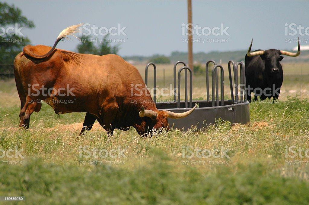 Longhorn Steer Grazing In Field royalty-free stock photo