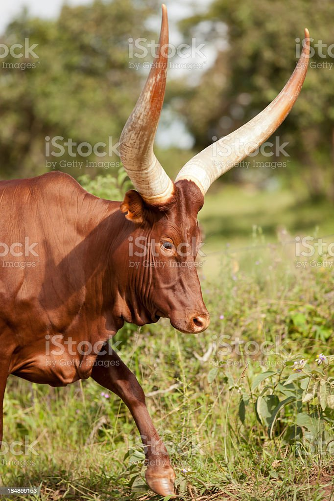 Long-Horned Ankole Cattle along the road in Uganda royalty-free stock photo