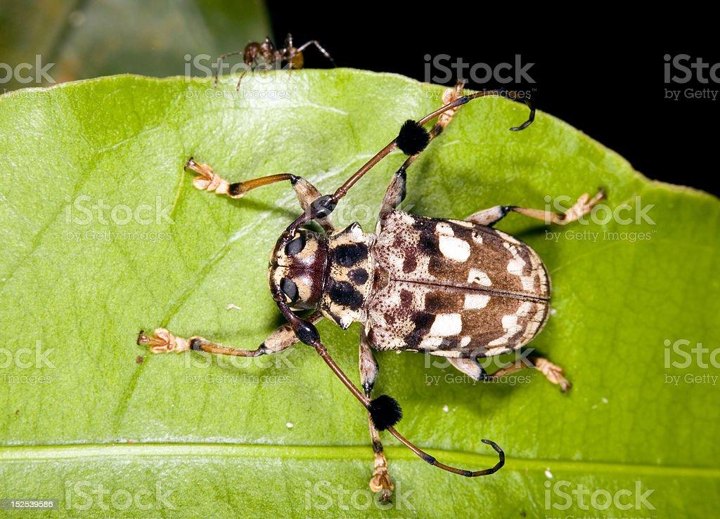 Long-horned beetle (Family Cerambycidae) royalty-free stock photo