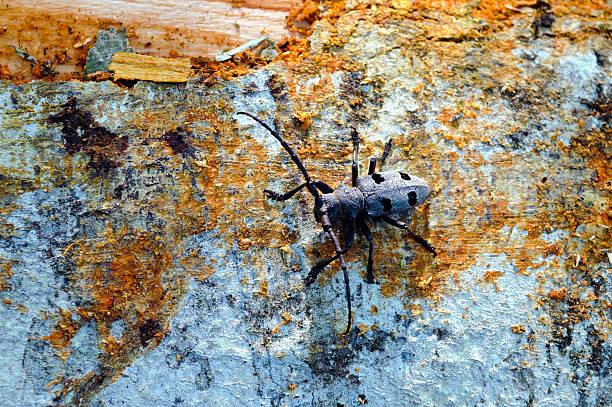 Langen Hörnern Käfer (Morinus Funereus Asper) – Foto