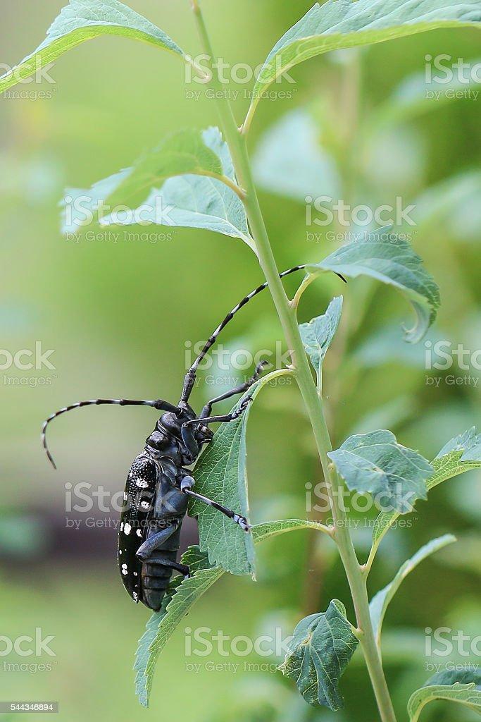 Longhorned Beetles of Japan stock photo