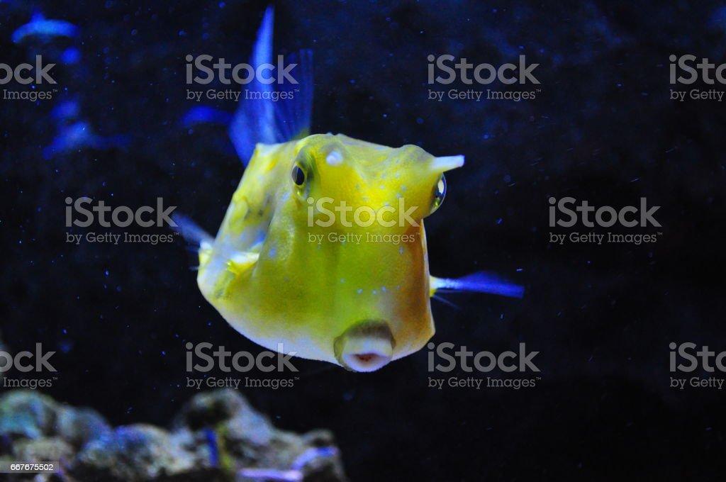 longhorned cowfish (Lactoria cornuta) on aquarium, stock photo