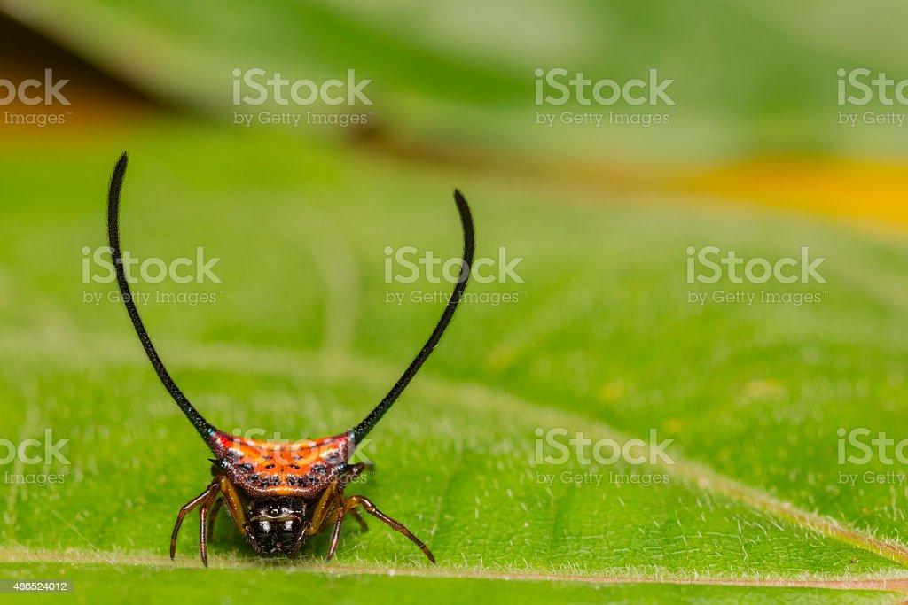 Long-horned Orb-weaver spider stock photo
