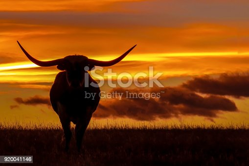 3 Longhorns silhouetted against a colorful sunset.