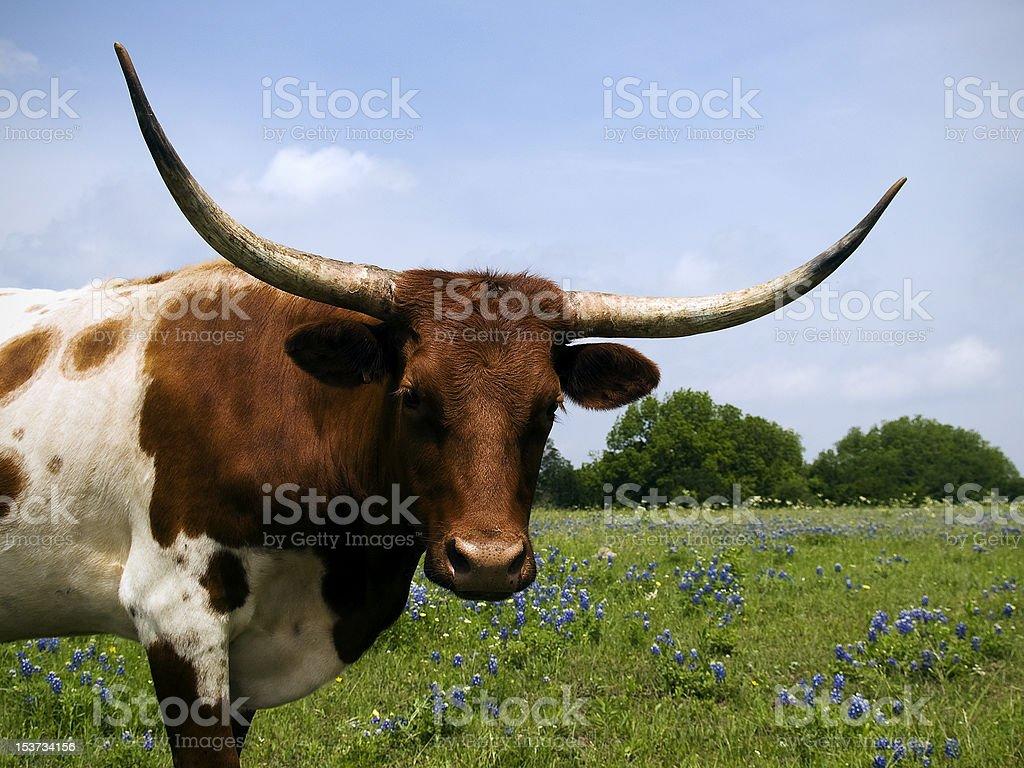 Longhorns  Bluebonnets stock photo