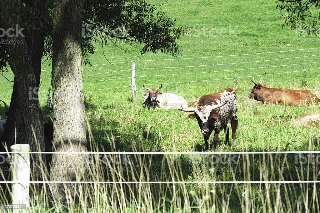 Longhorns by Shade Tree royalty-free stock photo