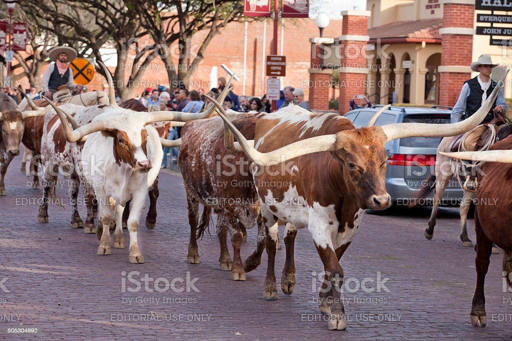 Longhorns Cattle Drive At The Fort Worth Stockyards Stock Photo Download Image Now Istock