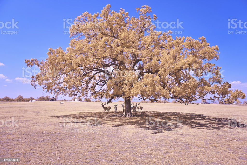 Longhorns in the shade royalty-free stock photo