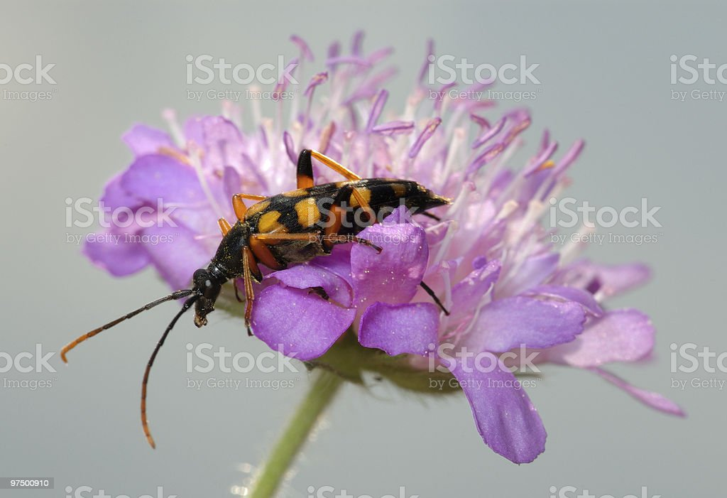 Longicorn beetle on a flower. royalty-free stock photo