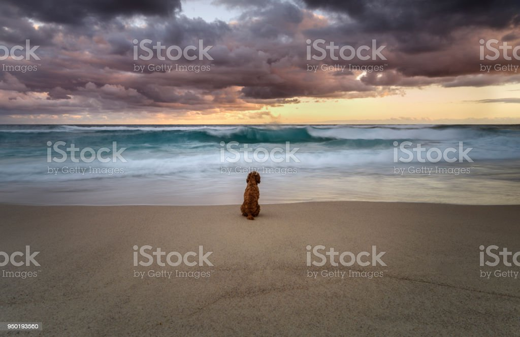 Longing Dog by the ocean stock photo