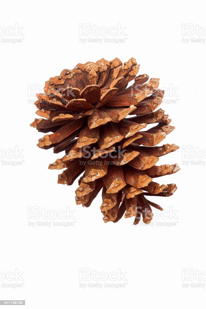 Longleaf pine cone stock photo