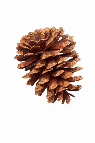 Cono del pino de Longleaf - foto de stock
