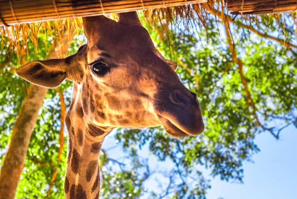 langhalsige Giraffe, schön gefleckt, erstaunliche Siest. – Foto