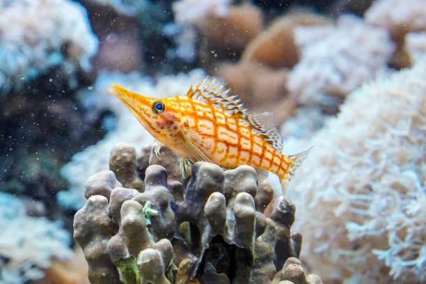 긴 코 hawkfish-Oxycirrhites typus 스톡 사진