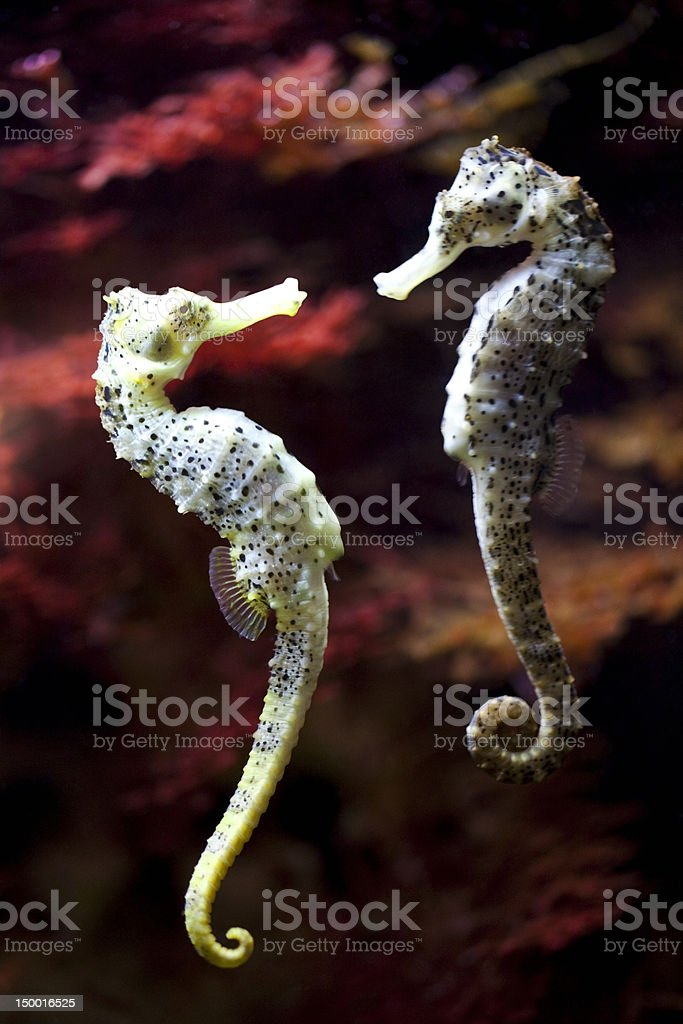 long-snouted seahorse in love stock photo