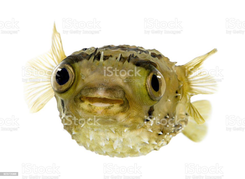 Long-spine porcupinefish also know as spiny balloonfish - Diodon royalty-free stock photo