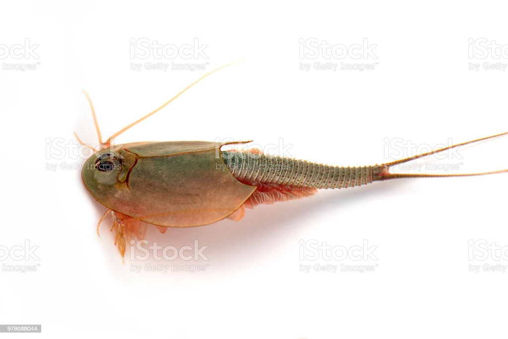 longtail tadpole shrimp, Triops longicaudatus stock photo