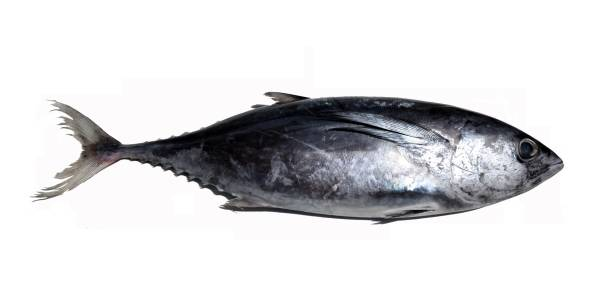 Longtail tuna on white background stock photo