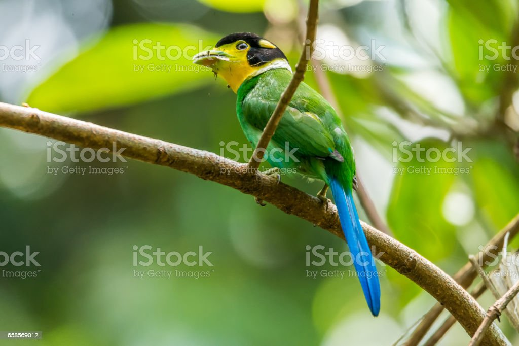 Long-tailed broadbill with dried grass stock photo