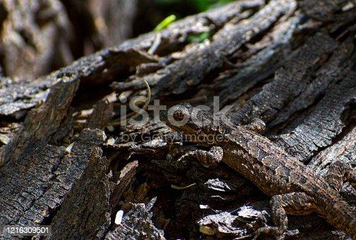 Long-Tailed Brush Lizard on Tree Log sunning on a log