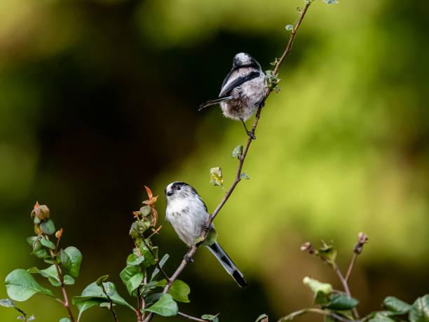 숲 단풍 1에 자리 잡은 긴 꼬리 부시릿 쌍 - 오목눈이 뉴스 사진 이미지