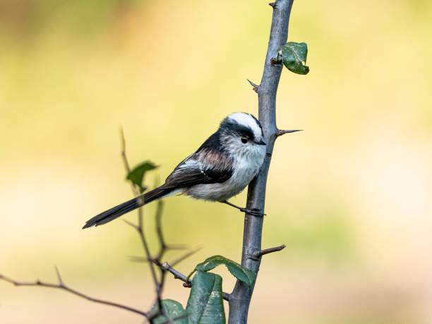 숲 단풍에 자리 잡은 긴 꼬리 부시 36 - 오목눈이 뉴스 사진 이미지