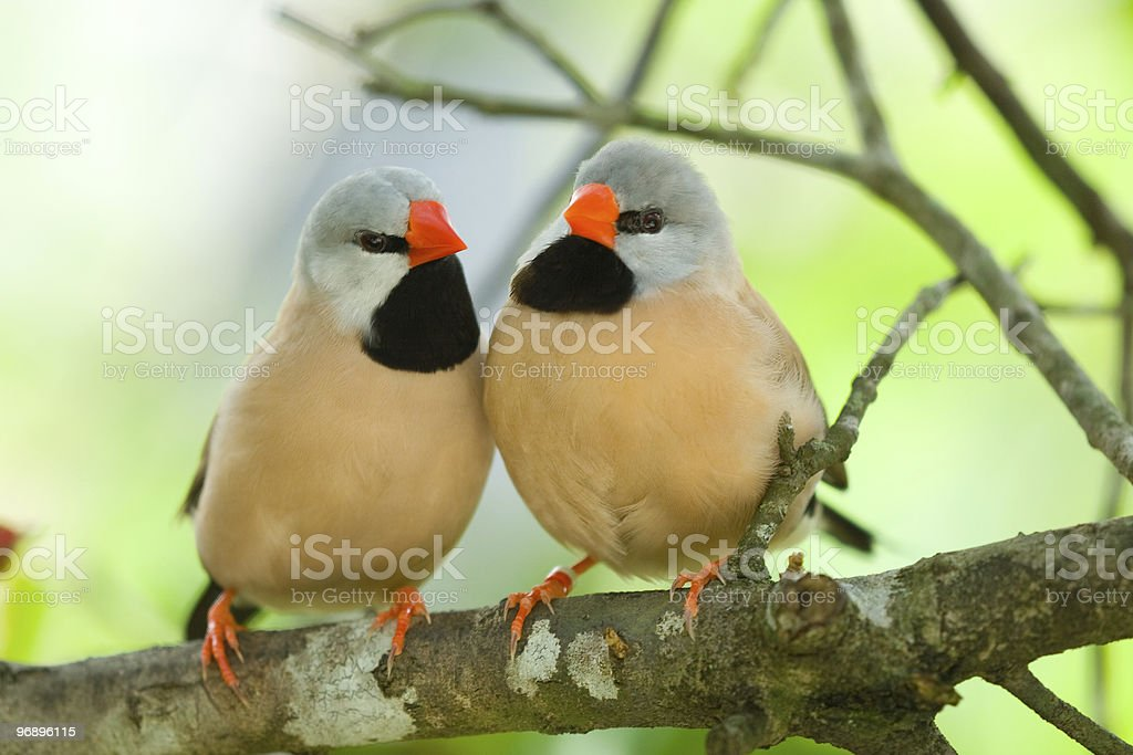 Long-tailed Finch couple royalty-free stock photo