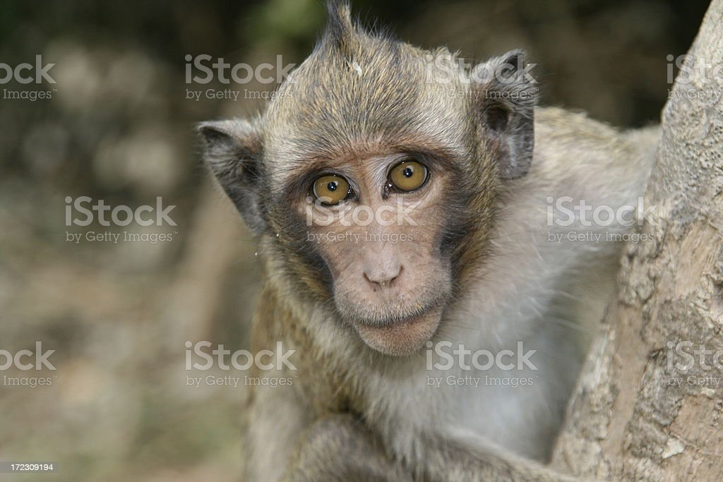 long-tailed macaque at Angkor Wat in Cambodia stock photo