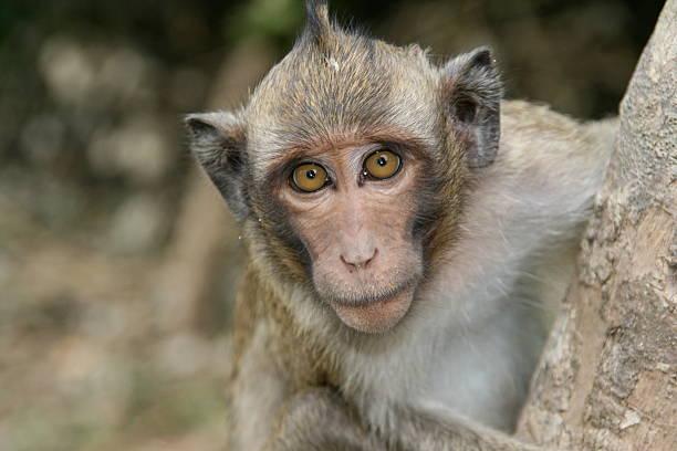 long-tailed macaque at Angkor Wat in Cambodia stock photo