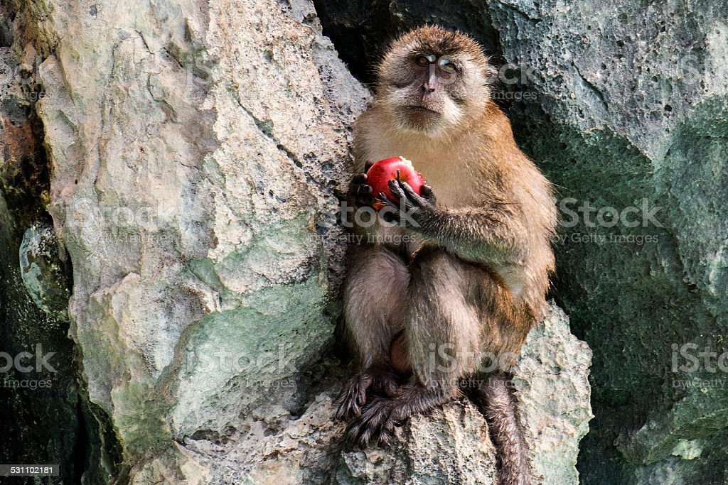Long-tailed Macaque Eating an Apple stock photo