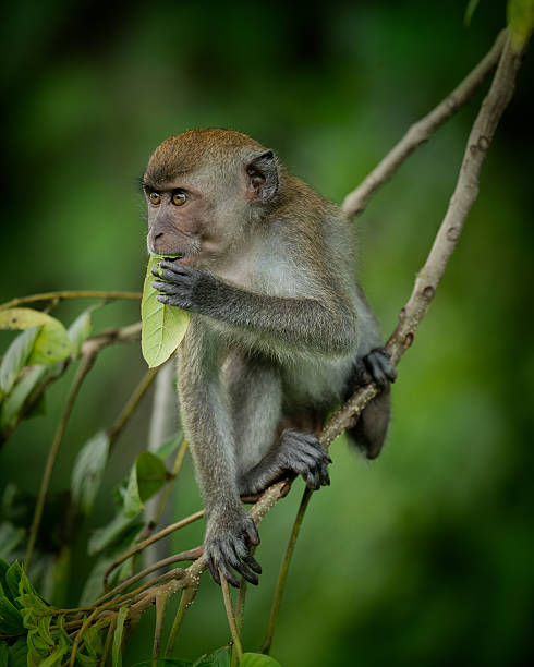 Long-tailed macaque feeding on a branch stock photo