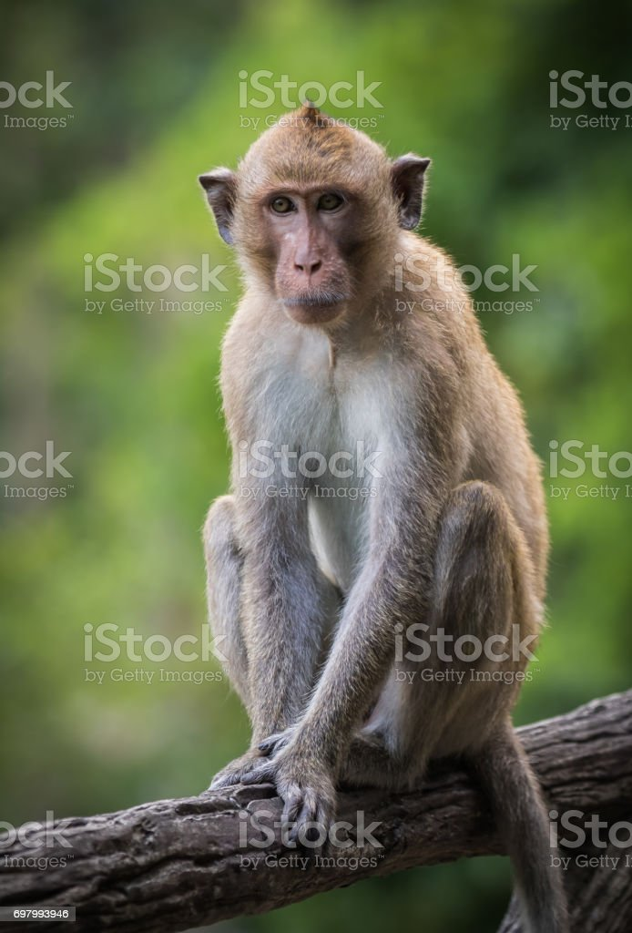 Long-tailed macaque in wild stock photo