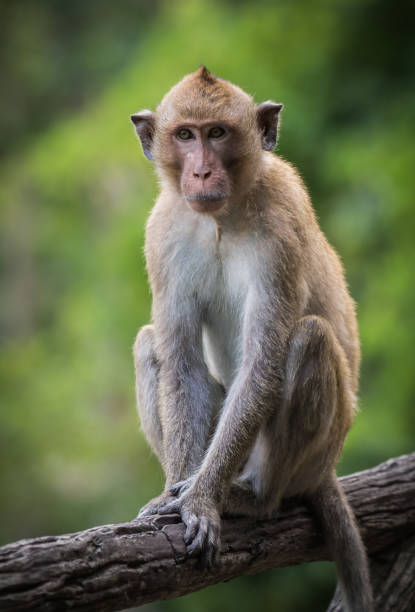 long-tailed macaque in wild - macaco foto e immagini stock