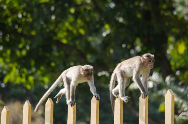 Longtailed Macaque Is Cercopithecidae - Fotografie stock e