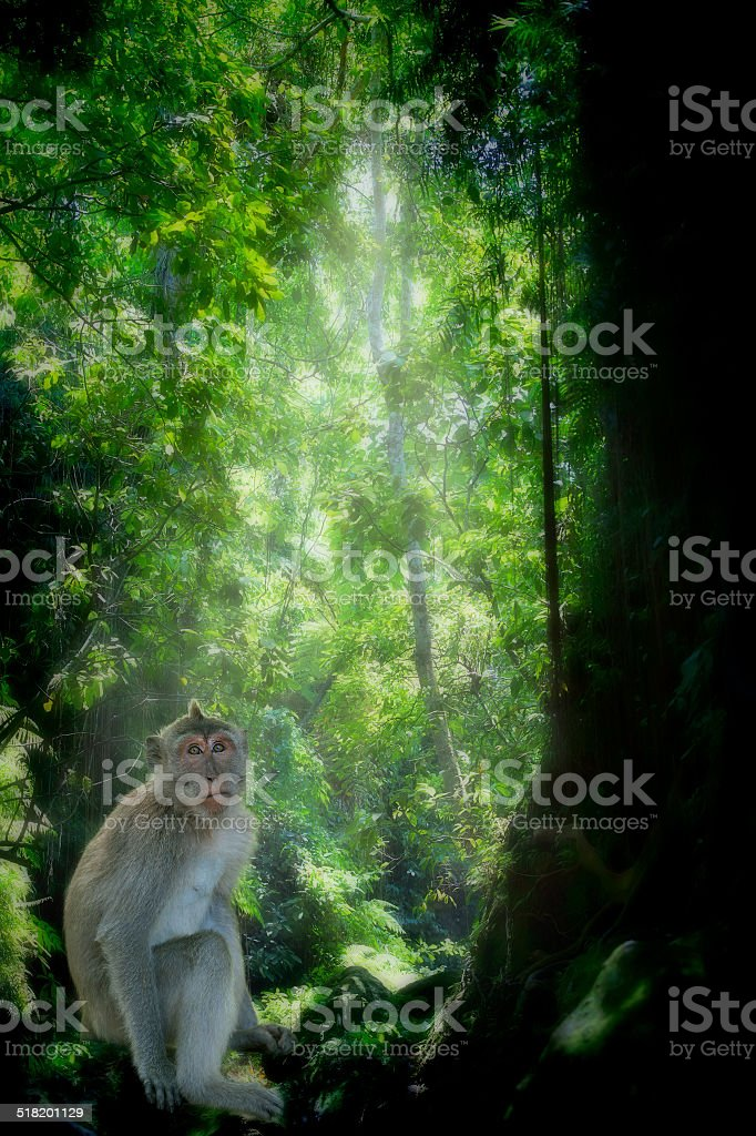 Long-tailed Macaque Monkey stock photo