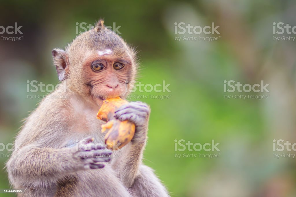 Long-tailed macaque or Crab-eating macaque (Macaca fascicularis) monkey is eating banana from the tourist. stock photo