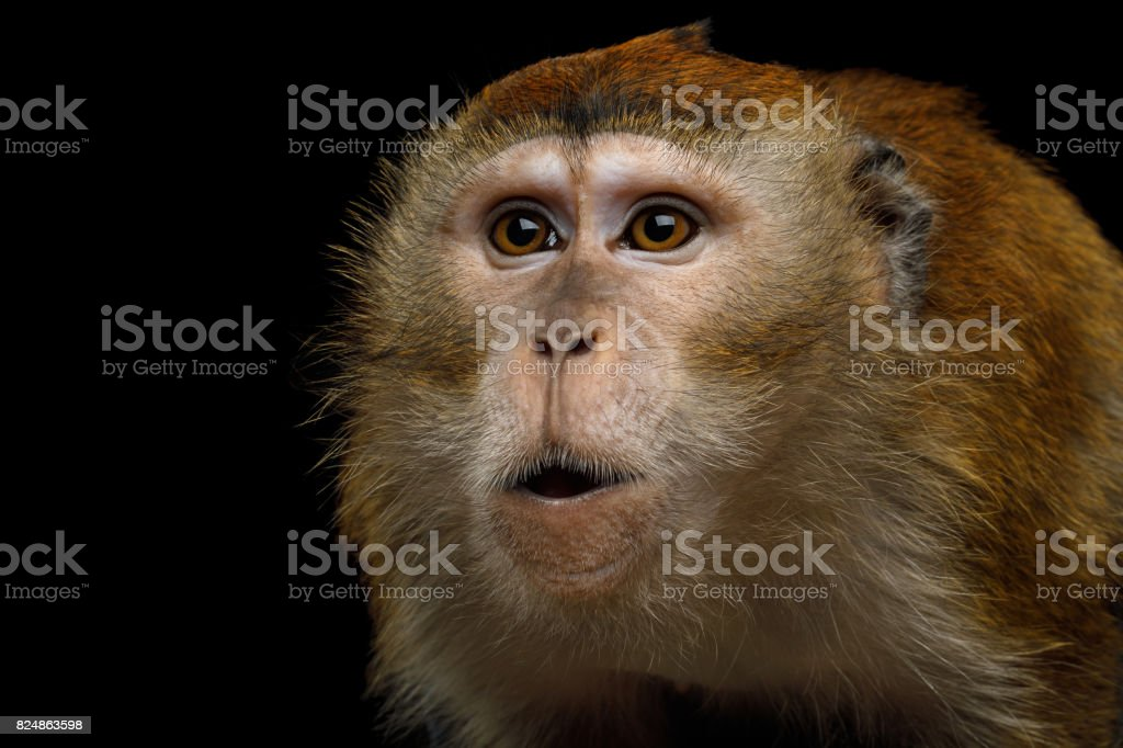 Long-tailed macaque or Crab-eating macaque stock photo