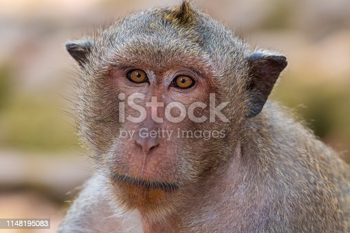 Long-tailed macaque at Angkor Wat temple in Siem Reap, Cambodia
