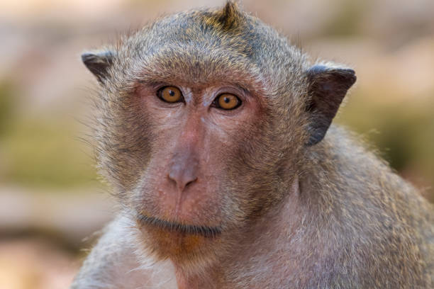 long-tailed macaque - macaco foto e immagini stock