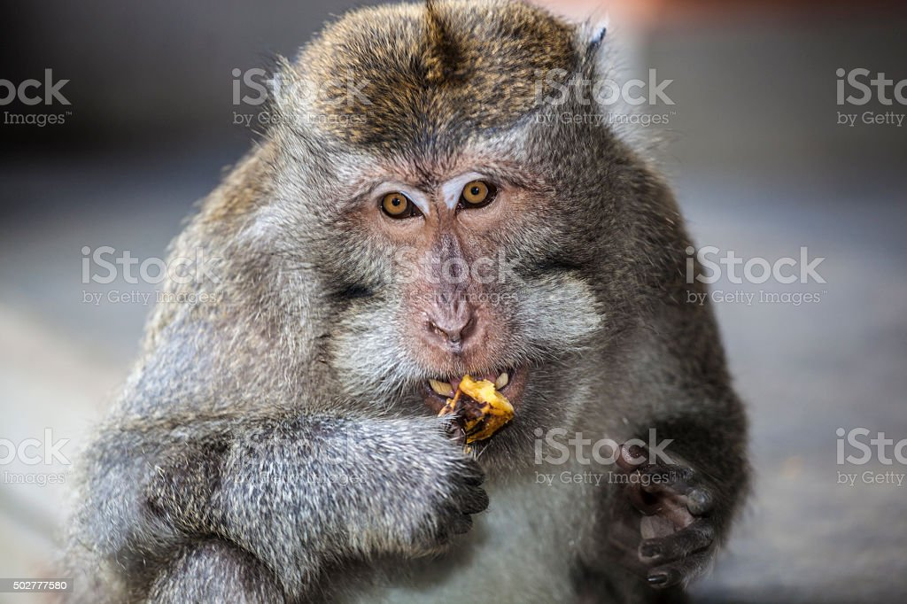 Long-tailed Macaque. stock photo