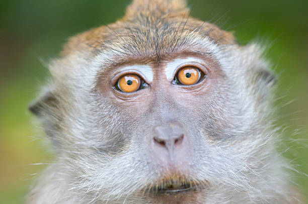 Long-tailed macaque stock photo