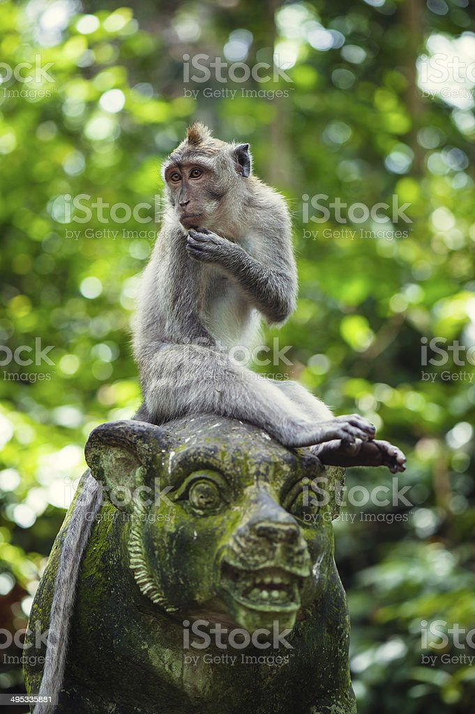 Long-tailed macaques stock photo