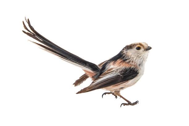 긴 꼬리 젖꼭지, aegithalos 코시, 흰색 배경에 고립 - 오목눈이 뉴스 사진 이미지